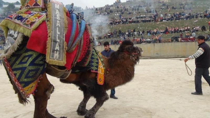 yenipazar-deve-guresi-festivali-657
