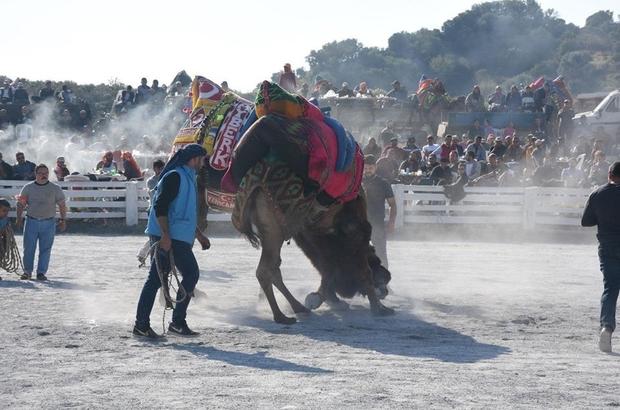 germencik-deve-guresi-festivali-1692