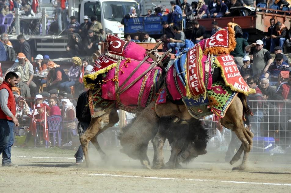 geleneksel-bozdogan-deve-guresi-festivali-1727
