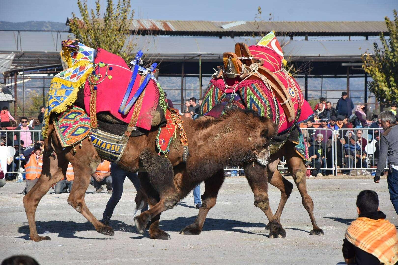 geleneksel-hacialiobasi-deve-guresi-festivali-1759