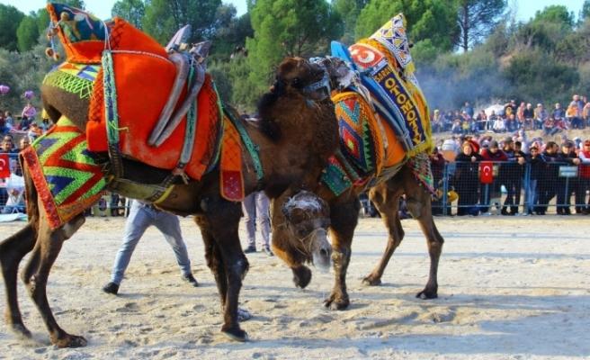 geleneksel-kocarli-deve-guresi-festivali-1722