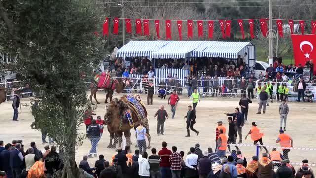 selimiye-deve-guresi-festivali-1812